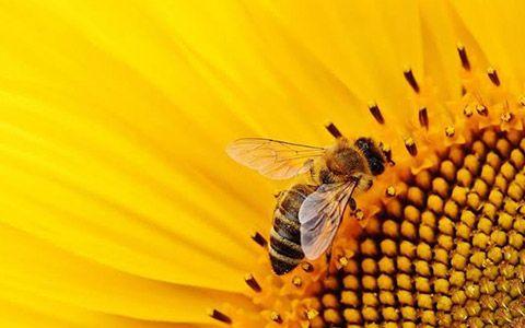 Arı sütü nasıl üretilir?