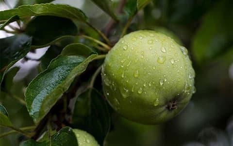 Elma yağı ne işe yarar?