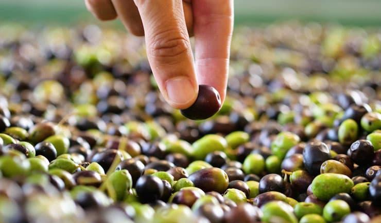 Türkiye'de yetiştirilen sofralık zeytin çeşitleri hangileridir?