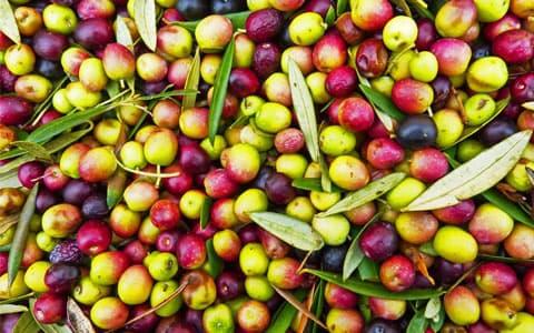 Türkiye'de yetişen zeytin çeşitleri